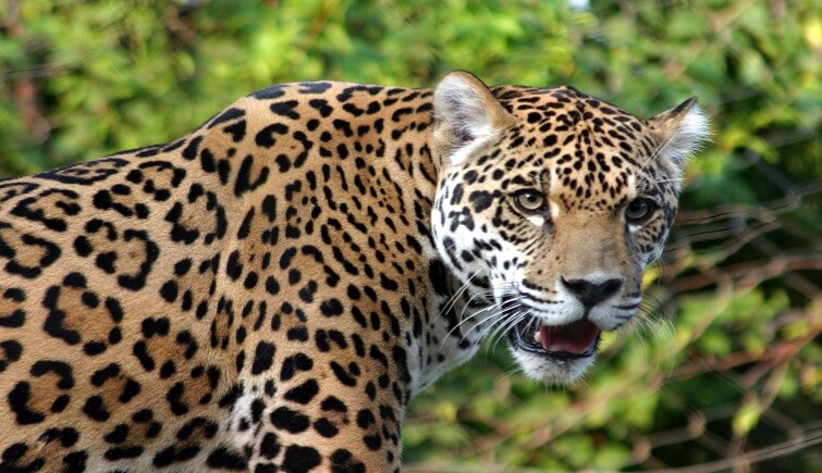 BREAKING: Leopard attack in Guwahati; at least two injured