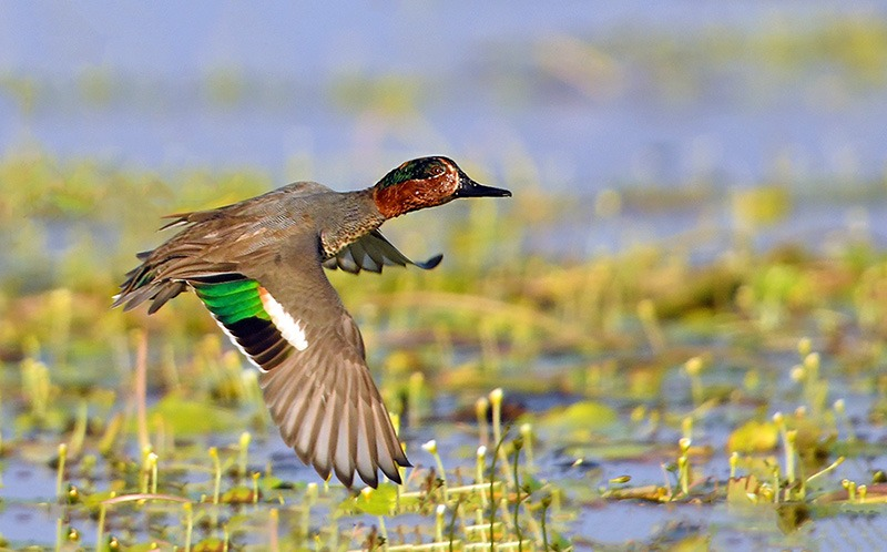 Assam Waterfowl census: Kaziranga records growth while Pabitora sees a decline